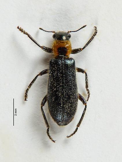 Placopterus? - Placopterus thoracicus
