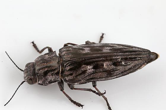 Buprestidae - Chalcophora angulicollis
