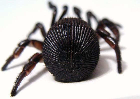 Ravine Trapdoor Spider - Cyclocosmia truncata - BugGuide.Net