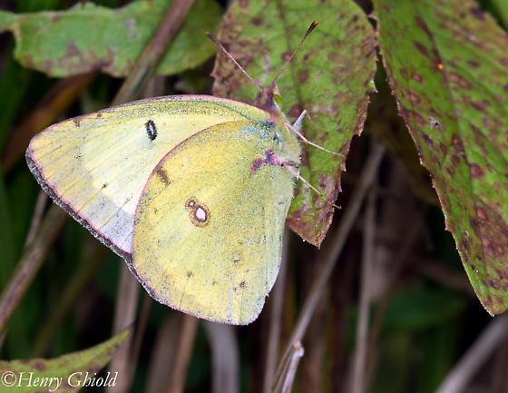 Pink-edged Sulphur - Colias philodice - male