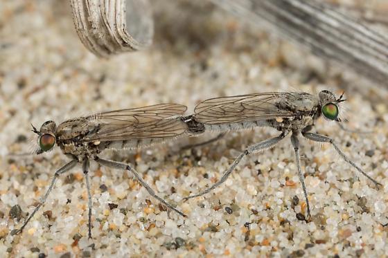 Mating - Lasiopogon littoris - male - female