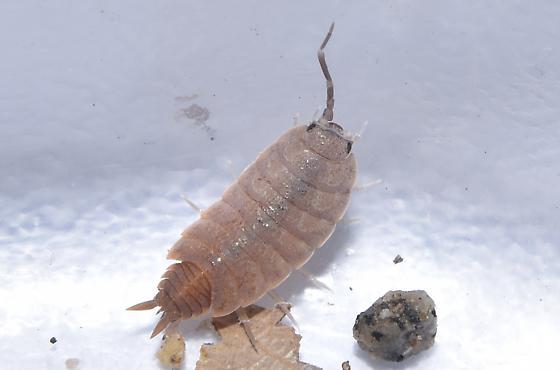 Isopod - Porcellionides