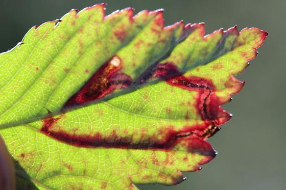 Unid Leafminer Grt1 - Stigmella villosella