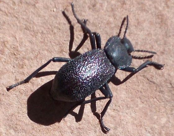Black Beetle at Hubbell AZ