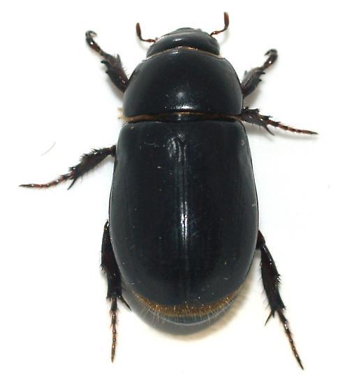Dyscinetus picipes - Dyscinetus laevicollis
