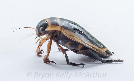 Dytiscus harrisii - male