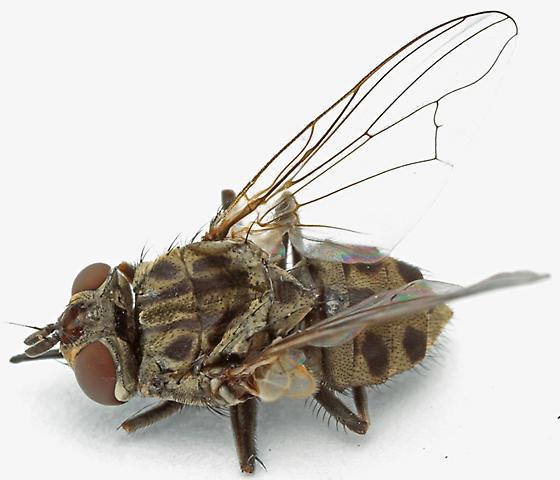 house-invading flies - Stomoxys calcitrans