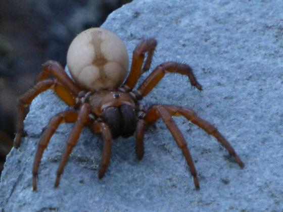 Spider observed at 8,000 at Horse Camp on Mt Shasta, CA - Atypoides gertschi