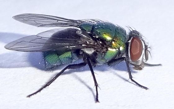 Green Fly - Lucilia - female