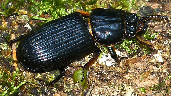 Mammoth Stag Beetle - Odontotaenius disjunctus