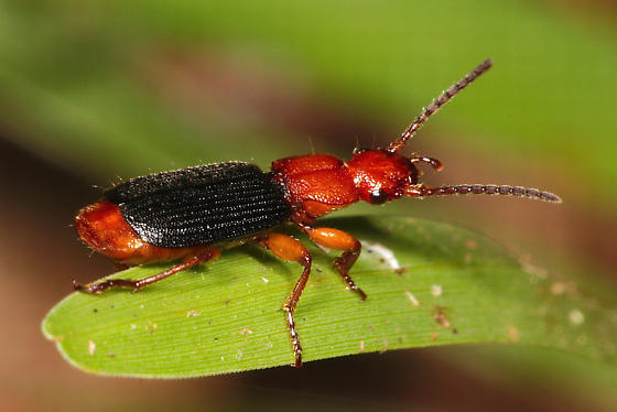 red and black beetle - Helluomorphoides nigripennis