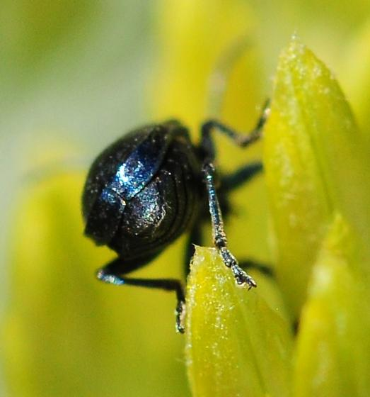 Unknown Beetle - Altica
