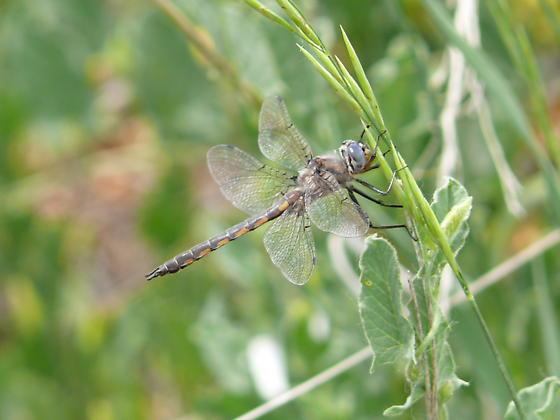 Common baskettail - maybe? - Epitheca petechialis