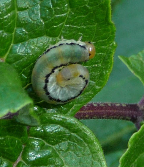 Green & yellow caterpillar with black stripe
