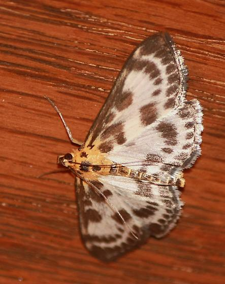 Unknown moth  - Anania hortulata