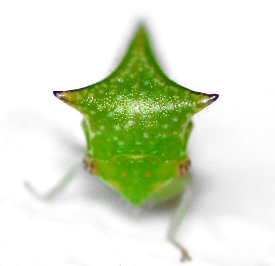 Stictocephala taurina