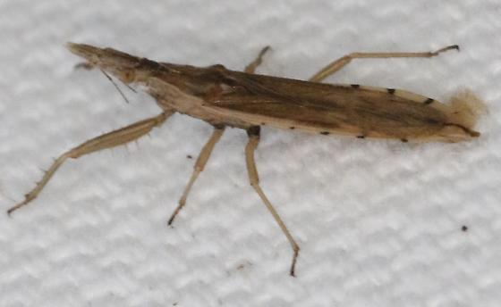 Insect - Pnirontis infirma - male