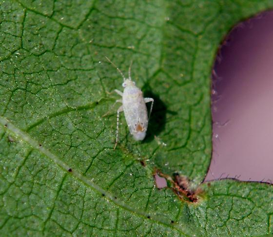 Cotton Fleahopper on Cotton Leaf - Pseudatomoscelis seriatus