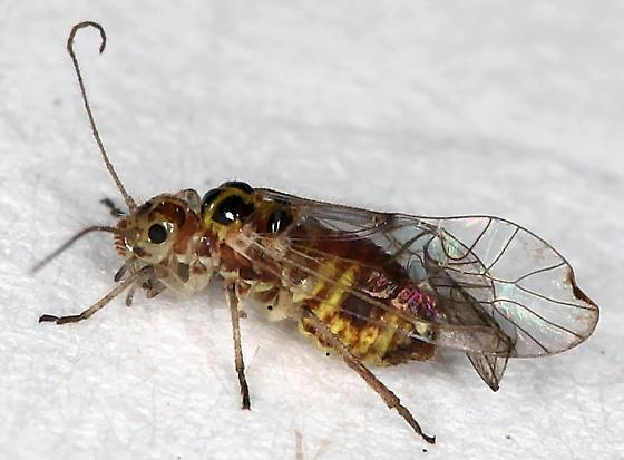 Large, colorful, Barklouse - Elipsocus