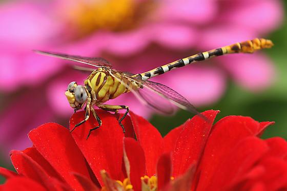 dragonfly - Erpetogomphus designatus