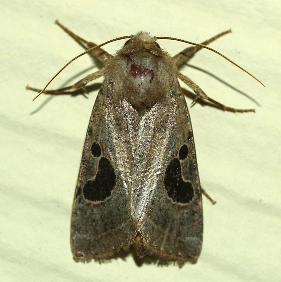 Moth - Hypotrix lunata