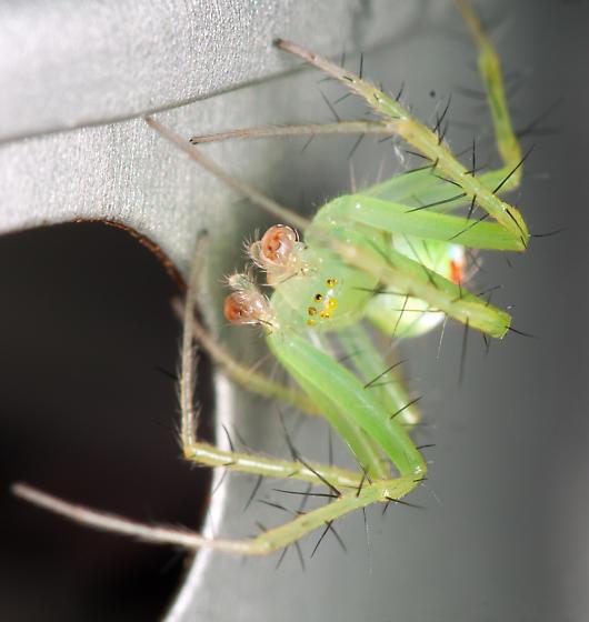 Green orbweaver - Araneus cingulatus - male