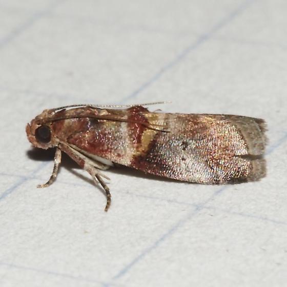 ID Request - Acrobasis blanchardorum? - Acrobasis blanchardorum