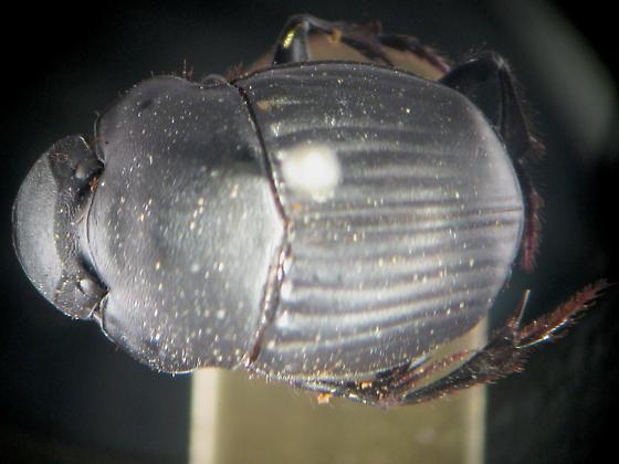 mislabeled specimen from 1870's (!) - Phanaeus triangularis - female