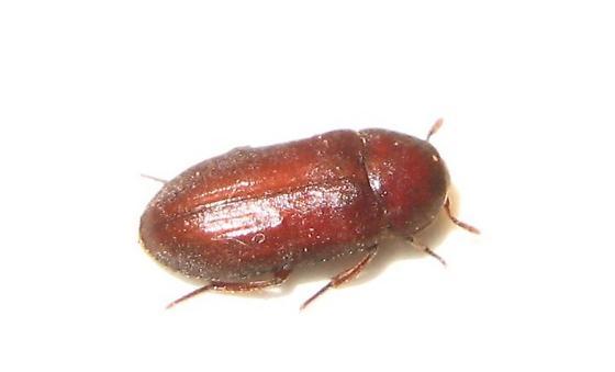 Dermestid beetle - Dermestes ater