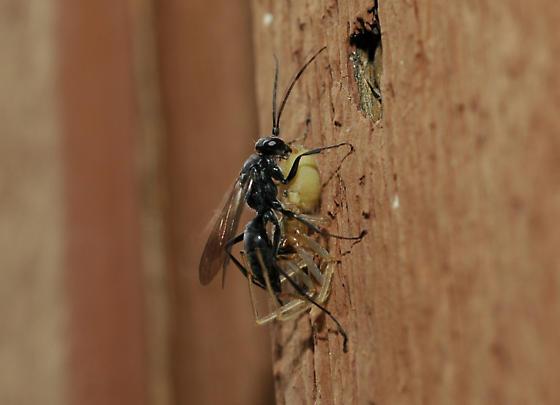 Spider Wasp with prey - Auplopus carbonarius