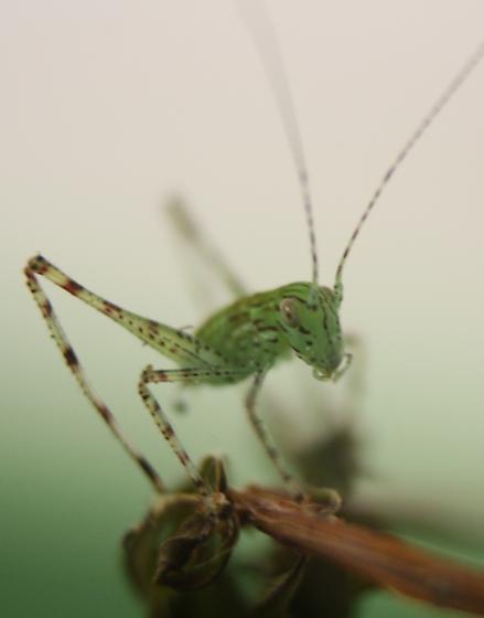 A Very Random Katydid  - Microcentrum retinerve