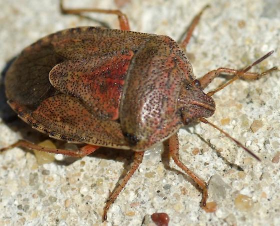 Stink Bug - Hymenarcys nervosa