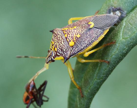 Spined Soldier Bug, ? - Conquistator mucronatus