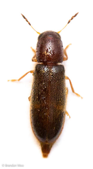 Neorthopleura texana