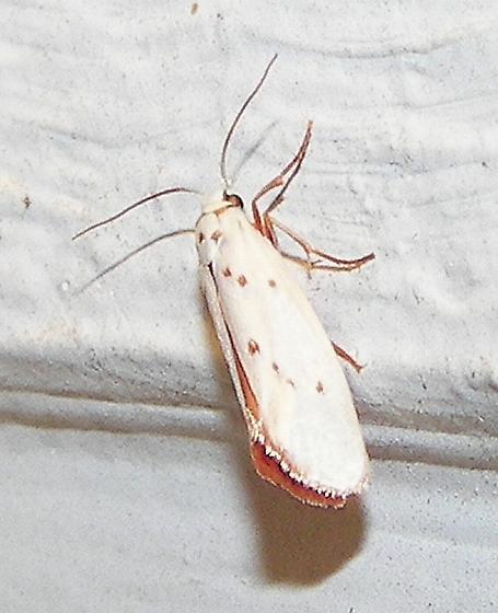 Tropical Burnet Moth - Lactura subfervens