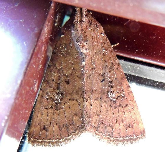 moth - Condica mobilis