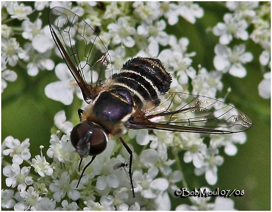Bee Fly - Villa arenicola - female