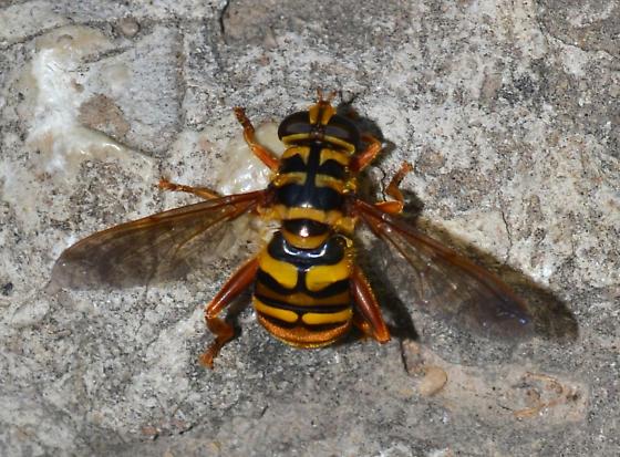 Large bee/hornet mimic - Milesia virginiensis