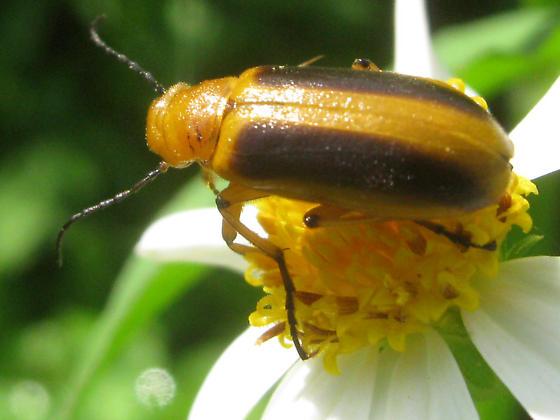 Orange and Black Beetle - Nemognatha punctulata