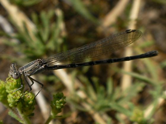 SD Coen - Argia agrioides - female