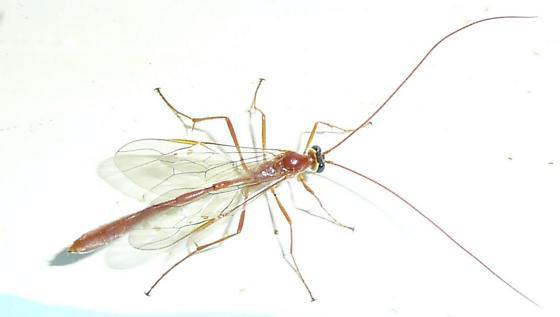 Enicospilus - Enicospilus purgatus