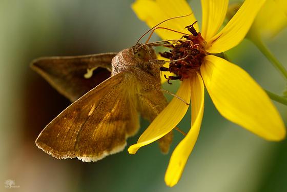 Day-flying Moth - Anagrapha falcifera
