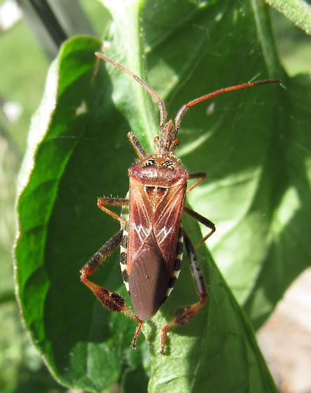 Bug for ID - Leptoglossus occidentalis