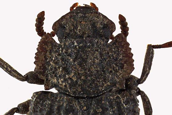 Darkling beetle - Bolitophagus corticola