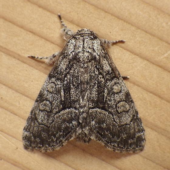 Noctuidae: Raphia frater - Raphia frater - male