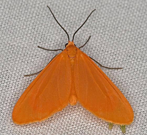 Moth, dorsal - Eubaphe unicolor