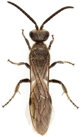 Tiphiinae?