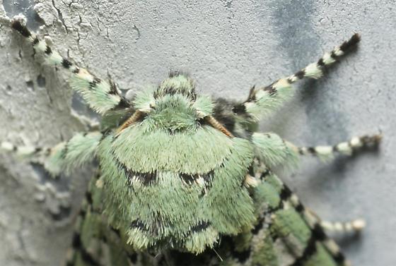 Sallow Moth - Feralia major