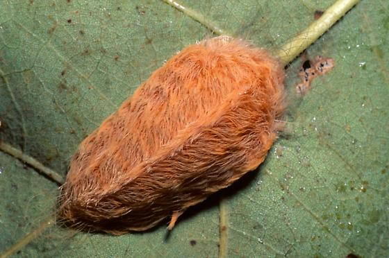 Puss Caterpillar - Lagoa crispata