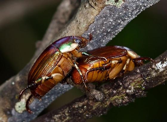 BeetleScarab11152013 - Callistethus marginatus